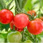 توصیه های کاشت و روش های مبارزه با افات و بیماری های گوجه فرنگی