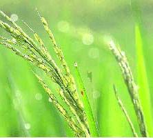 توصیه های کاشت و مبارزه با آفات و بیماری های برنج