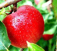 توصیه های کاشت و روش های مبارزه با آفات و بیماری های سیب