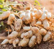 توصیه های کاشت و روش های مبارزه با آفات و بیماری های بادام زمینی