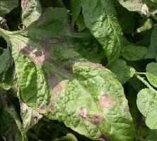 روش های مبارزه با بیماری قارچی بادزدگی