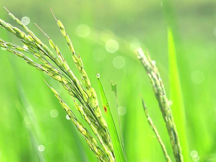 مبارزه با آفات و بیماری های برنج