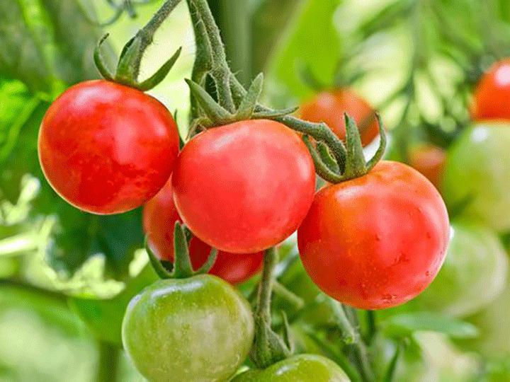 مبارزه با آفات و بیماری های گوجه فرنگی