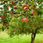 ollination-Apple-Tree