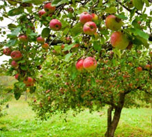 ollination-Apple-Tree