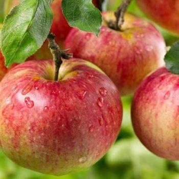 تغذیه درخت سیب