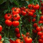 تغذیه گیاه گوجه