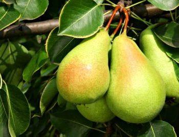 تغذیه درخت گلابی