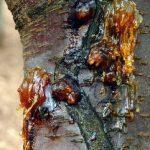 بیماری شانکر