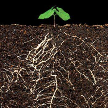 سلامت ریشه گیاه