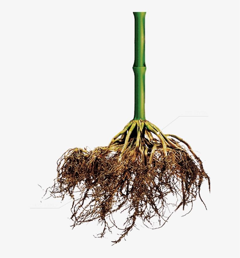 ریشه گیاه سالم